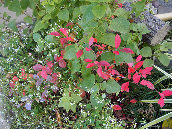 霜柱と紅葉