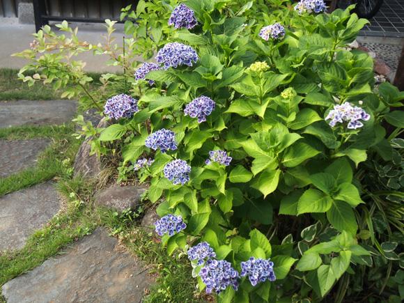 紫陽花たち
