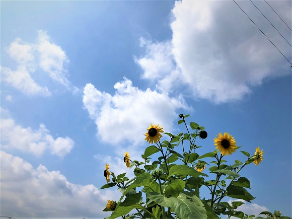 sunflower0001.jpg